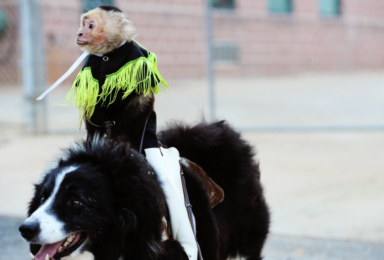 "Sam rides his faithful ""steed,"" Bob, before the Aberdeen IronBirds game, Thursday, July 10, 2014. (Jon Sham/BSMG)"