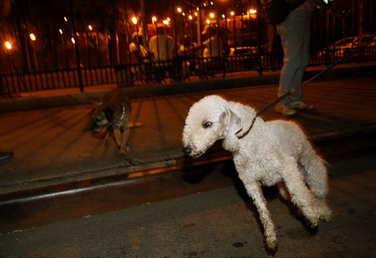 Catcher (R), a Bedlington Terrier, pulls on his leash during an organized hunt for rats with the Ryders Alley Trencher-fed Society in New York City July 25, 2014. The Ryders Alley Trencher-fed Society (R.A.T.S.) is a group of enthusiasts who take their dogs out to hunt rats in New York City. Members of the independent group venture out on night-time excursions to allow their dogs to do what they do best: hunt and kill vermin. (Mike Segar/Reuters)