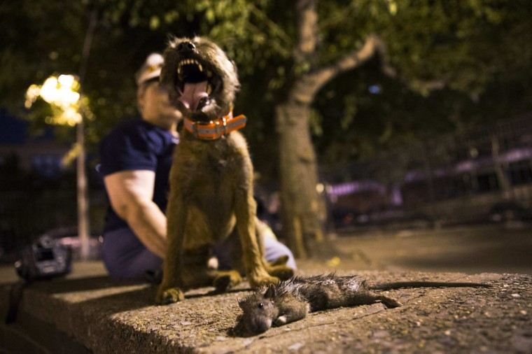 Merlin, a Border Terrier, stands over a dead rat he killed during an organized rat hunt on New York City's Lower East Side July 25, 2014. The Ryders Alley Trencher-fed Society (R.A.T.S.) is a group of enthusiasts who take their dogs out to hunt rats in New York City. Members of the independent group venture out on night-time excursions to allow their dogs to do what they do best: hunt and kill vermin. (Mike Segar/Reuters)