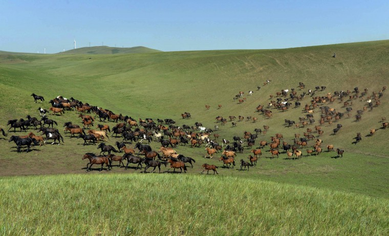 A herd of horses run on a grassland in Xilin Gol League, in China's Inner Mongolia Autonomous Region. (Jacky Chen/Reuters)
