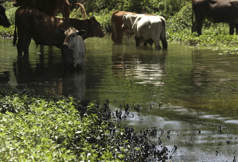 Cattle stand in a stream near leaked oil in Cadereyta August 21, 2014. (REUTERS/Daniel Becerril)