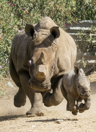 Three-week-old female White Rhinoceros runs with her mother Tanda, 21, at the Ramat Gan Safari, an open-air zoo near Tel Aviv,. The Safari Park reported that they have had two male White Rhinos born at the facility but she is the first female born there in 20 years. The new female rhino will eventually be transferred to other zoos to take part in the White Rhino reproduction project aimed at increasing the population of this species in a zoo. (Jack Guez/Getty Images)