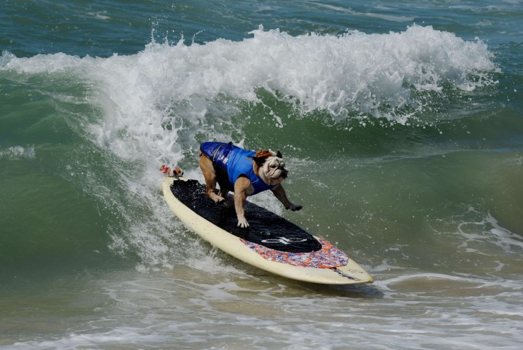 Surfer Dog Tillman rides a wave in the Large division during the 6th Annual Surf Dog competition at Huntington Beach, California on September 28, 2014. (Mark Raltson/Getty Images)