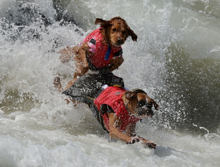 Two Surfer Dogs wipe out in their tandem division event during the 6th Annual Surf Dog competition at Huntington Beach, California on September 28, 2014. (Mark Raltson/Getty Images)
