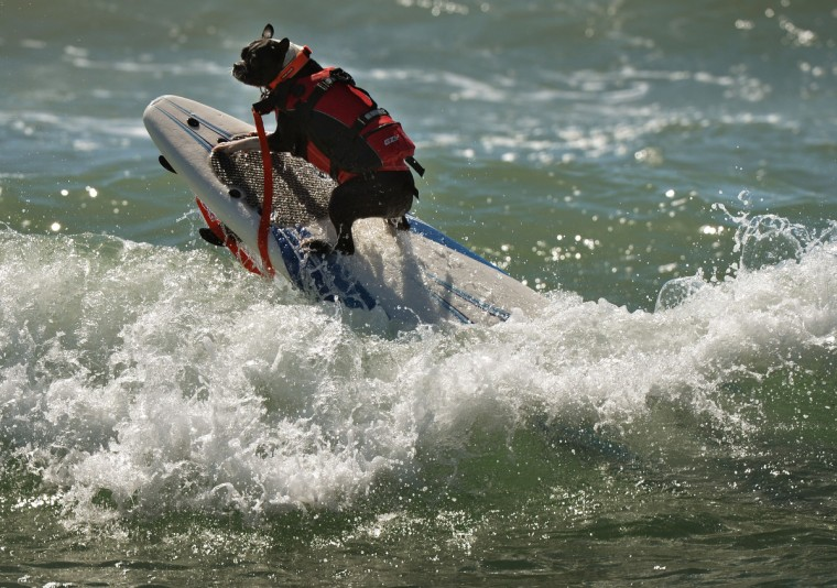 A Surfer Dog rides a wave in the small dog division during the 6th Annual Surf Dog competition at Huntington Beach, California on September 28, 2014. (Mark Raltson/Getty Images)