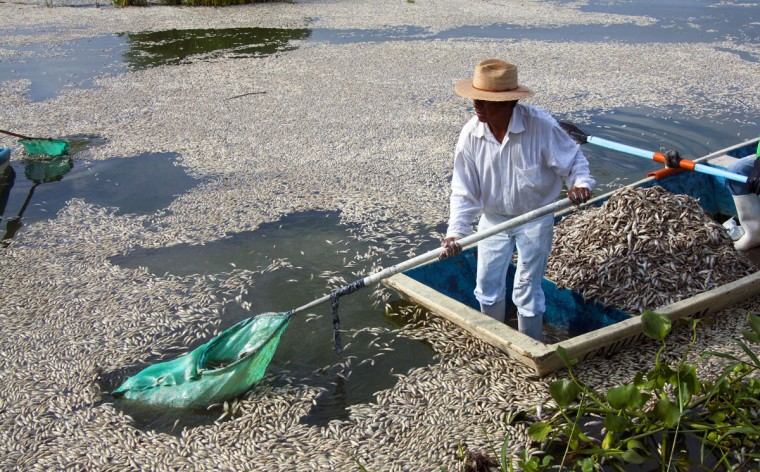 "Fishermen collect dead ""popocha"" fish at the lagoon of Cajititlan in Tlajomulco de Zuniga, Jalisco State, Mexico, on September 1, 2014. At least 48 tonnes of fish have turned up dead in a lagoon in western Mexico and authorities are investigating whether a wastewater treatment plant is to blame. Officials in the state of Jalisco said late Sunday it was the fourth case of mass deaths at the Cajititlan lagoon this year in the town of Tlajomulco, south of Guadalajara. (AFP PHOTO/Getty Images/Hector Guerrero)"