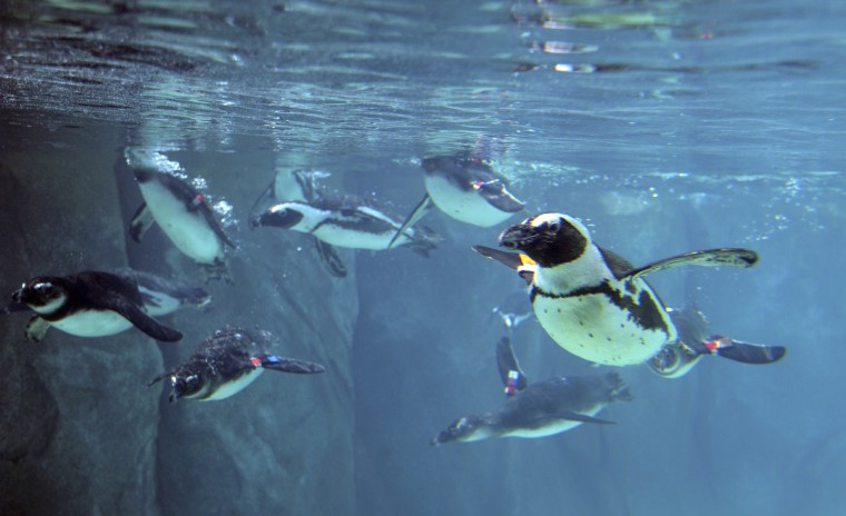 The first group of African penguins relocated to the new Penguin Coast exhibit swim by the underwater windows in the Education Center. (Kim Hairston/Baltimore Sun)