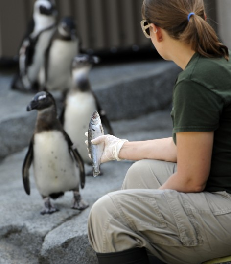 Juvenile African penguins refuse to eat fish that Lindsay Jacks, an animal keeper at The Maryland Zoo in Baltimore, holds up for them. This is the first group of African penguins relocated to the new Penguin Coast exhibit. The young penguins didn't have their morning meal, but by afternoon were dining on a variety of fish. (Kim Hairston/Baltimore Sun)