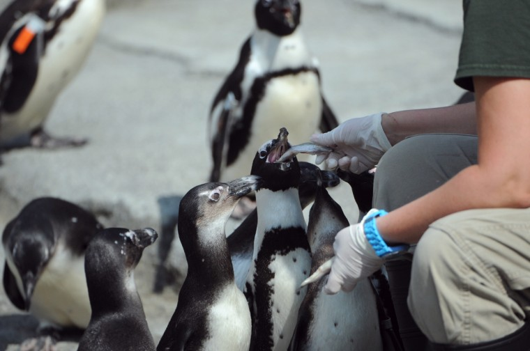 The first group of African penguins relocated to the new Penguin Coast exhibit acclimate to their surroundings. They refused to take the fish at the Thursday morning feeding, the first time they were to eat outside. By the afternoon feeding they were ready. (Kim Hairston/Baltimore Sun)