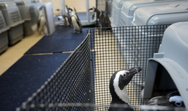 Nesting pairs of African penguins, the second group to move to Penguin Coast, get used to their nesting boxes in the new penguin housing area. The state-of-the-art exhibit opens on Saturday, September 27th. (Kim Hairston/Baltimore Sun)