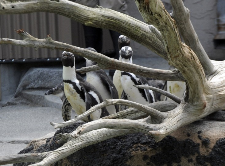 The first group of African penguins relocated to the Penguin Coast exhibit explore their new surroundings on their first day outside. (Kim Hairston/Baltimore Sun)