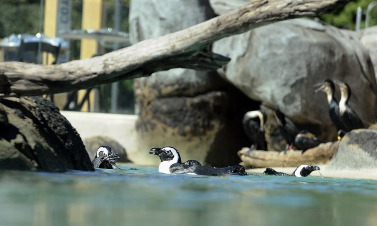 African penguins are viewed at water level through the underwater window. Their new exhibit, Penguin Coast, opens Saturday. Kim Hairston/Baltimore Sun