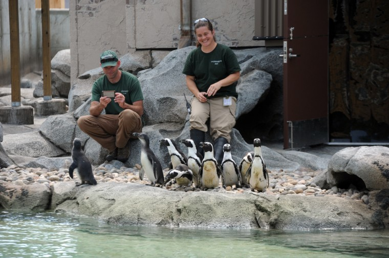 As keepers watch, a group of African penguins relocated to the new Penguin Coast exhibit wonder outside for the first time. (Kim Hairston/Baltimore Sun)