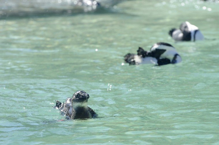 African penguins will be on display in their new exhibit when Penguin Coast opens Saturday. Kim Hairston/Baltimore Sun