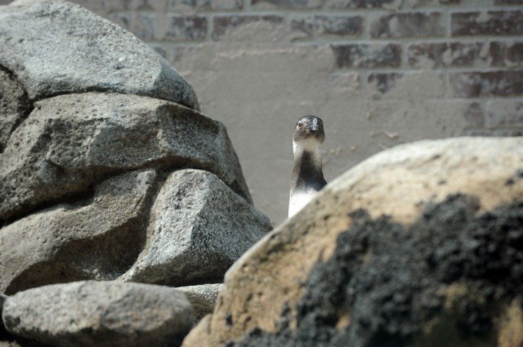 """One bird from the first group of African penguins relocated to the new Penguin Coast exhibit looks at its surroundings from behind """"rocks."""" (Kim Hairston/Baltimore Sun)"""