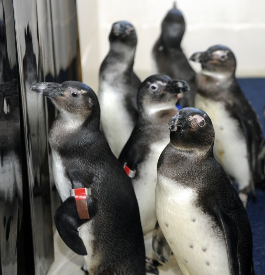 A group of African penguins explore their new housing after being moved in animal carriers from Rock Island to the new exhibit, Penguin Coast. (Kim Hairston/Baltimore Sun)