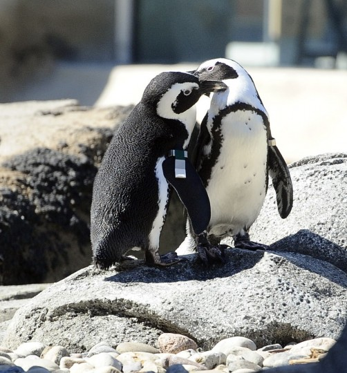 Penguin Coast, the new exhibit of African penguins at The Maryland Zoo in Baltimore, opens Saturday. Kim Hairston/Baltimore Sun