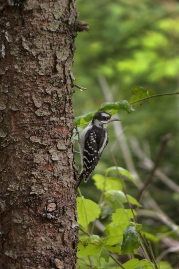 A woodpecker pauses during a hunt for food on a nature trail preserved by the Boothbay Region Land. (Karl Merton Ferron/Baltimore Sun)