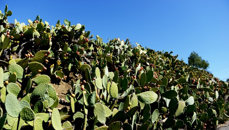 There's a winding and slightly treacherous road that takes one from the regular highway to Highway 1, also known as the Pacific Coast Highway. Large parts of it are lined with these cacti.