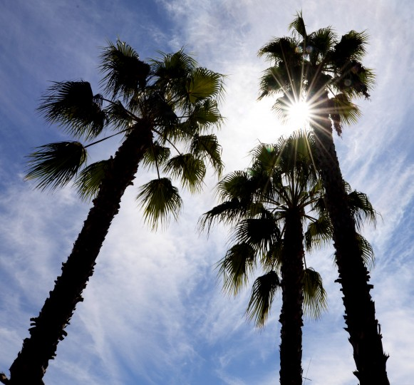 The sun shines through some palm trees on Coronado.