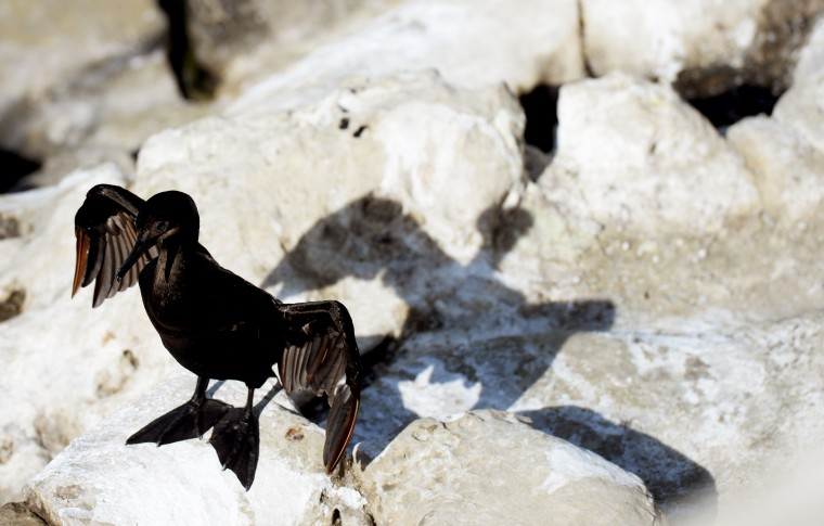 A cormorant bird spreads its wings on a rock at La Jolla, which they typically do for drying off.