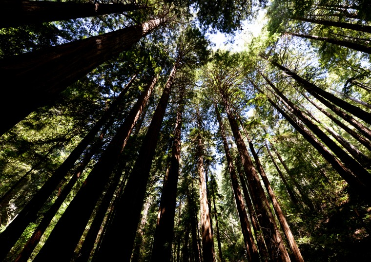 A circling of redwood trees.