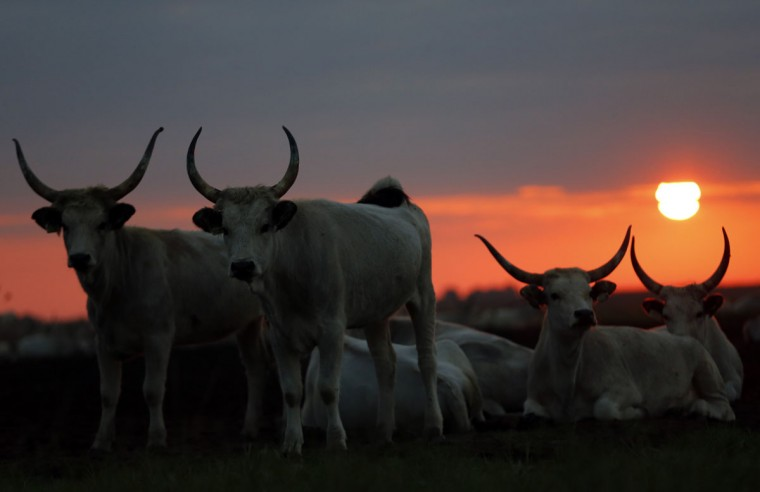 Cattle rest during sunset at the Great Hungarian Plain in Hortobagy, east of Budapest September 24, 2014. Picture taken September 24. (REUTERS/Laszlo Balogh)