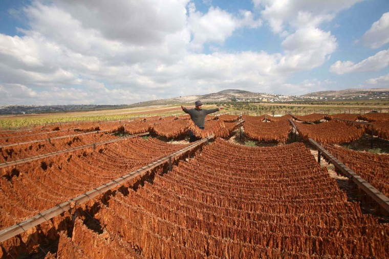 Palestinian farmer Mahmoud Amarneh carries dry tobacco in his field to make local cigarettes in the town of Ya'bad near the West Bank city of Jenin September 22, 2014. (Abed Omar Qusini/Reuters)