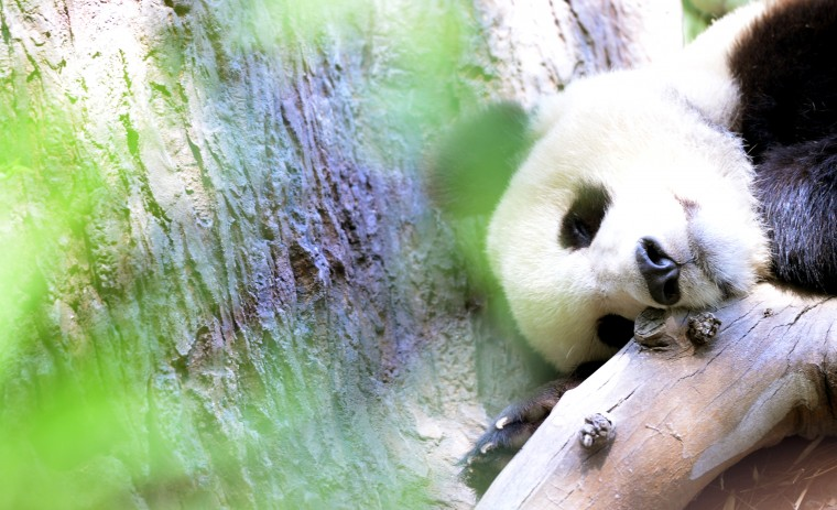 The San Diego Zoo's baby panda takes a little nap on a hot day, Sunday, Aug. 24.