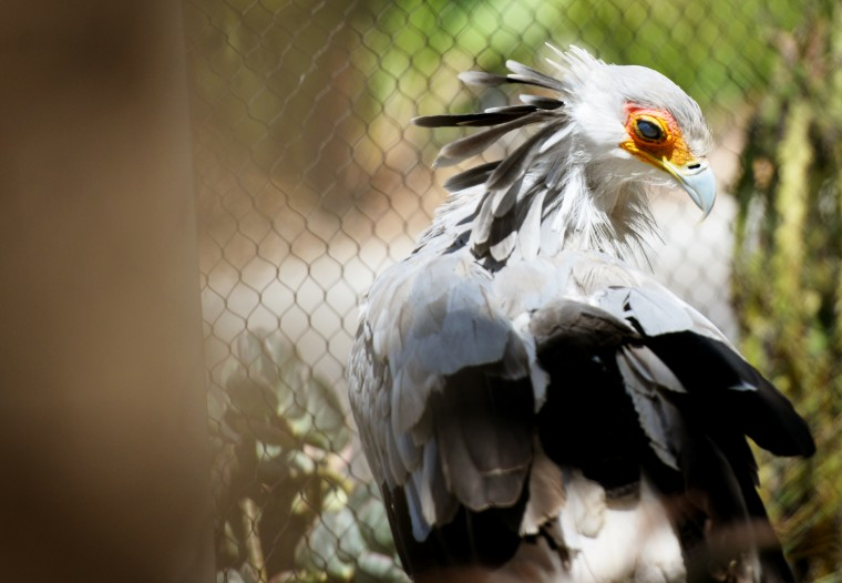 A large Secretarybird, considered vulnerable on the endangered scale, cleans itself at the San Diego Zoo.