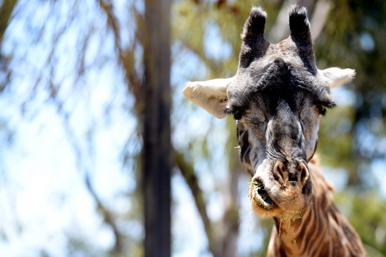 An adult giraffe chews on some food.