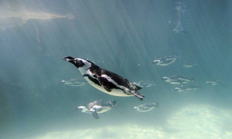 African penguins swim by an underwater window in Penguin Coast the new home for the birds, which opens this Saturday at The Maryland Zoo at Baltimore. The new exhibit allows spectators to view the penguins as they maneuver beneath the water in the 165, gallon pool. The state-of-the-art facility, built to resemble the rocky coast of southwest Africa where the species lives, will allow visitors to circle the exhibit, getting a much closer view of the penguins and white-breasted cormorants. Kim Hairston/Baltimore Sun
