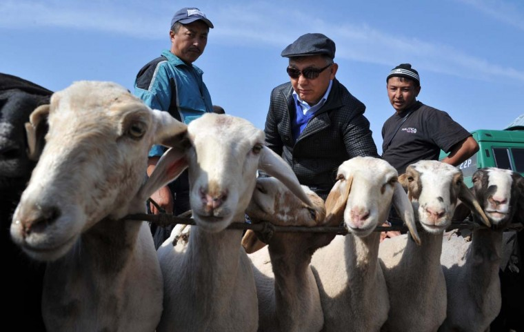 A Kyrgyz customer checks sheep at the outdoors livestock market in Bishkek on October 3 on the eve of the Muslim Eid al-Adha festival, the Muslim feast of sacrifice, known locally as Kurban Bayram.  || CREDIT: VYACHESLAV OSELEDKO - AFP/GETTY IMAGES