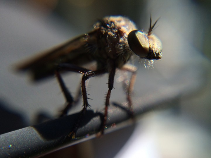 Robber Fly. (Jerry Jackson/Baltimore Sun)