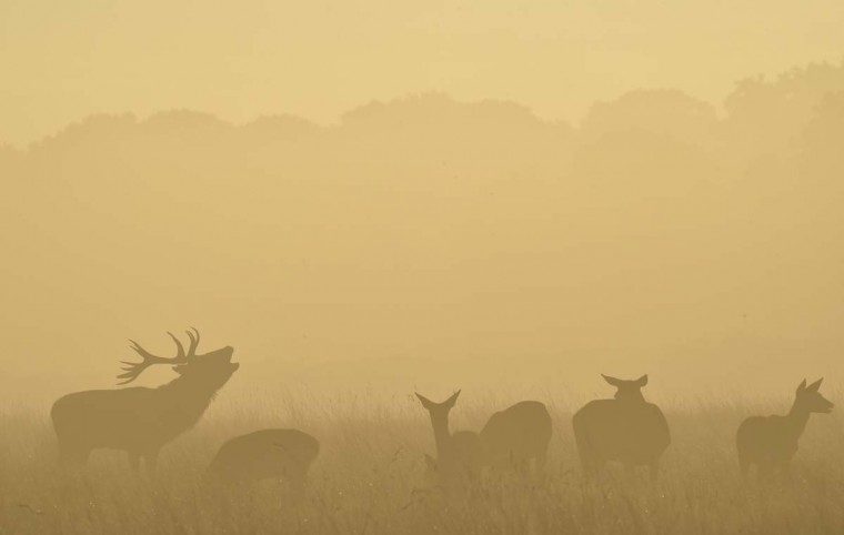 A male red deer barks in the early morning in Richmond Park in south west London, October 3. Over 600 red and fallow deer roam in the largest of London's Royal Parks, and have their numbers managed in an annual cull each November and February.   || PHOTO CREDIT: TOBY MELVILLE  - REUTERS