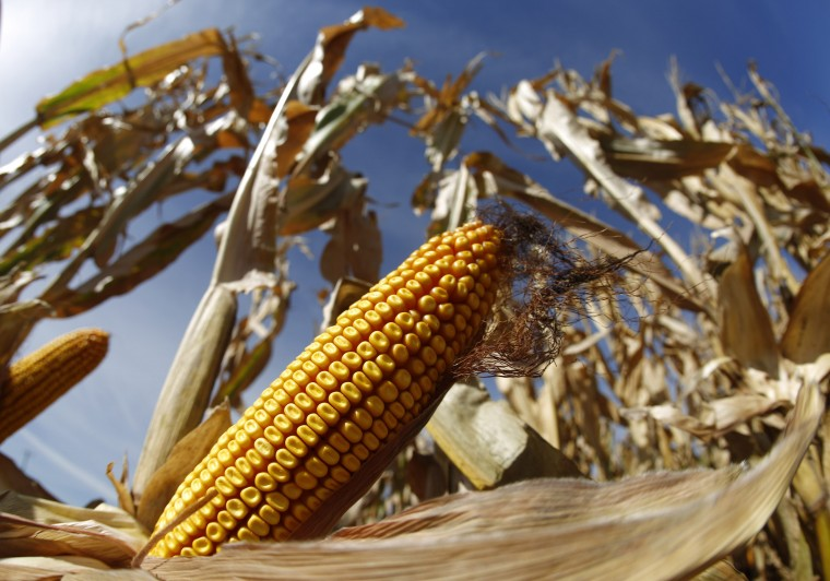 A cob of corn is seen in field during the harvest in Minooka, Illinois in this September 24, 2014 file photo. U.S. farmers are cutting back this autumn on spreading fertilizer due to crop prices slumping to multi-year lows and a delayed harvest, dealers say, warning of a pullback that will be felt from Midwest farms to Canadian mines. (Jim Young/Reuters)