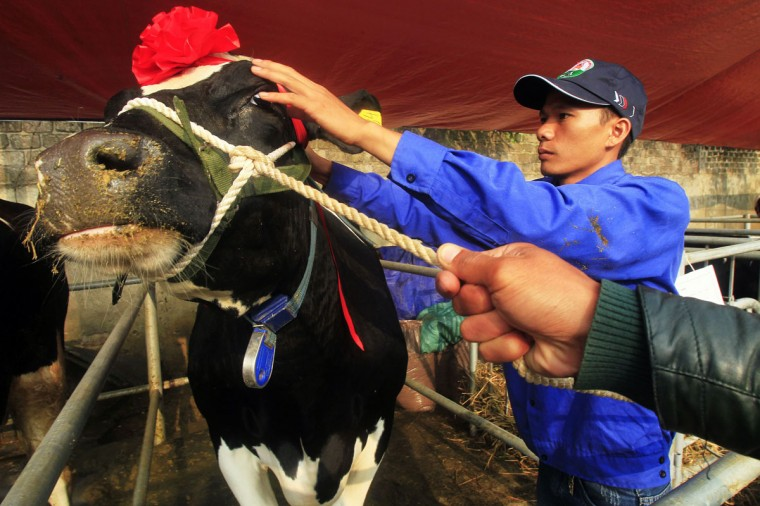 A cow is prepared for the Miss Milk Cow beauty contest in Moc Chau plateau, 200 km northwest of Hanoi. (Kham/Reuters)