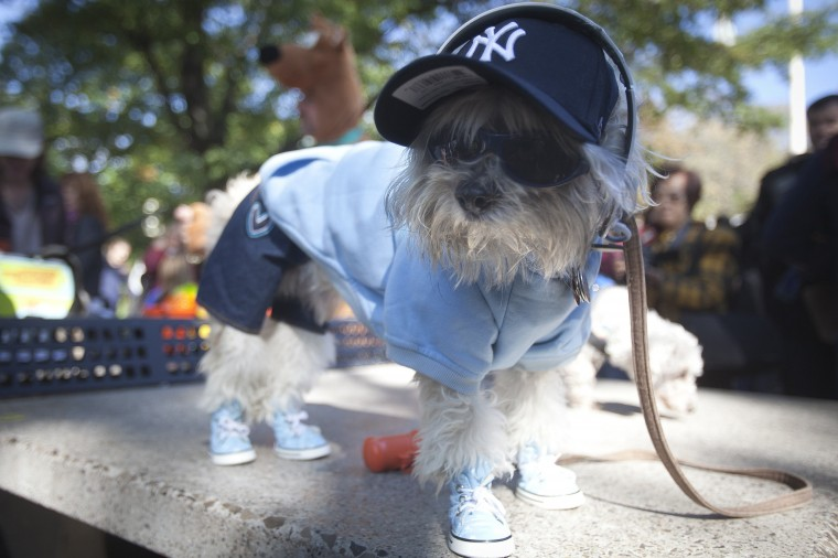 A dog poses for photos during the 24th Annual Tompkins Square Halloween Dog Parade in New York. Hundreds of dog owners dress their dogs and compete for fun and prizes during the parade. (Carlo Allegri/Reuters)
