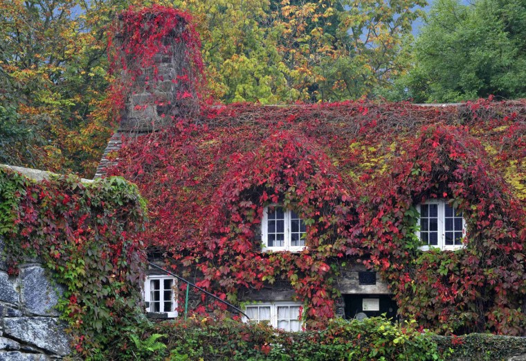 The Virginia Creeper covering a 15th-century cottage housing the Tu Hwnt IOr Bont tearoom has turned to copper red as Autumn approaches, in Llanrwst, North Wales September 23, 2014. (Rebecca Naden/Reuters)