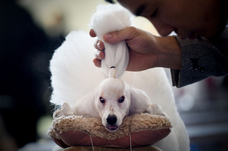 A man grooms his mini poodle after competition at the 2014 China International Pet Show in Beijing. The China International Pet Show (CIPS) will take place from November 17 to 20. (Wang Zhao/Getty Images)