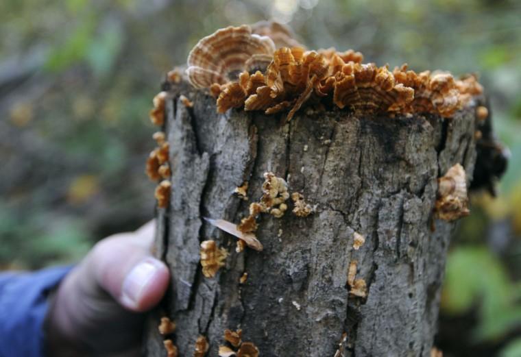 Lenzites betulinus and Stereum, wild mushrooms growing on a log in Herring Run Park. (Kim Hairston/Baltimore Sun)