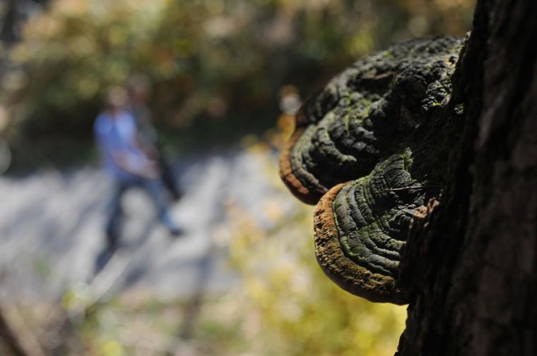 Phellinus linteus, a mushroom growing on a black locust tree.   (Kim Hairston/Baltimore Sun)