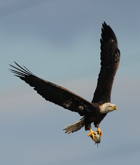 A bald eagle carries its catch on Friday afternoon below the Conowingo Dam. (Jerry Jackson/Baltimore Sun)