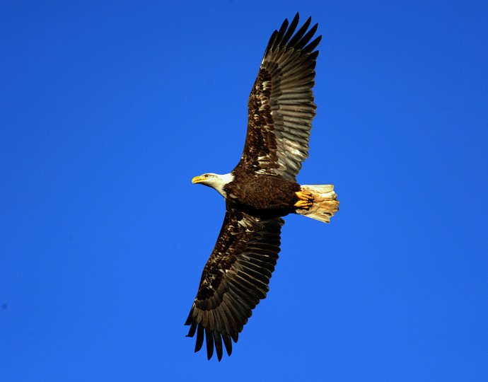 A bald eagle flies overhead at Conowingo Dam on Friday afternoon. (Jerry Jackson/Baltimore Sun)