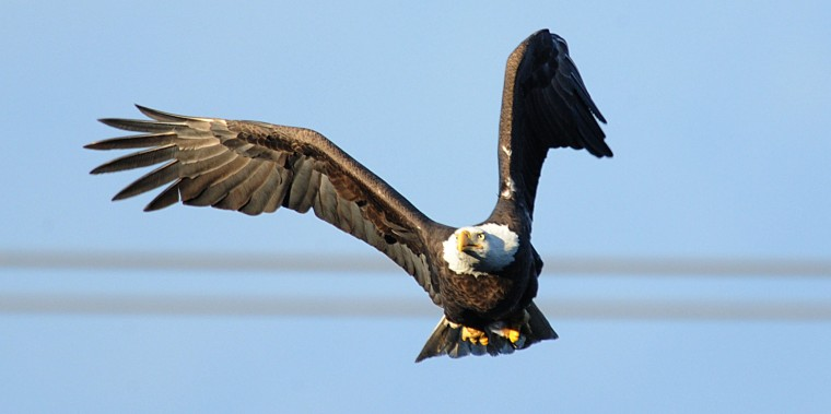 A bald eagle soars past the viewing deck below the Conowingo Dam on Friday. (Jerry Jackson/Baltimore Sun)