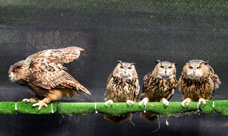 Eurasian eagle-owls (Bubo Bubo) sit in a cage at the Brinzal aviary, an owl-rescue charity based in a Madrid park, part of their convalescence following an ailment. (Gerard Juliena/AFP/Getty Images)