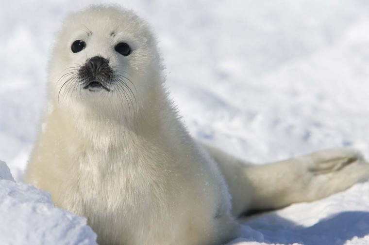 A pup harp seal watches on the ice floes on March 3, 2008, off the coast of the Magdalen Islands, Quebec a few weeks before the annual seal hunt. Norway's parliament has voted to scrap a controversial subsidy for seal hunting, potentially spelling the end of the much-criticised activity, a lawmaker told AFP on December 12, 2014.      || CREDIT: DAVID BOILY - AFP/GETTY IMAGES