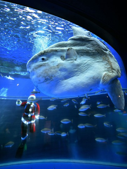 A diver wearing a Santa Claus costume feeds a sunfish to attract visitors at the Hakkeijima Sea Paradise aquarium in Yokohama, suburban Tokyo on December 17, 2014. Christmas attractions will be held till Christmas Day. (Yoshikazu Tsuno/AFP/Getty Images)