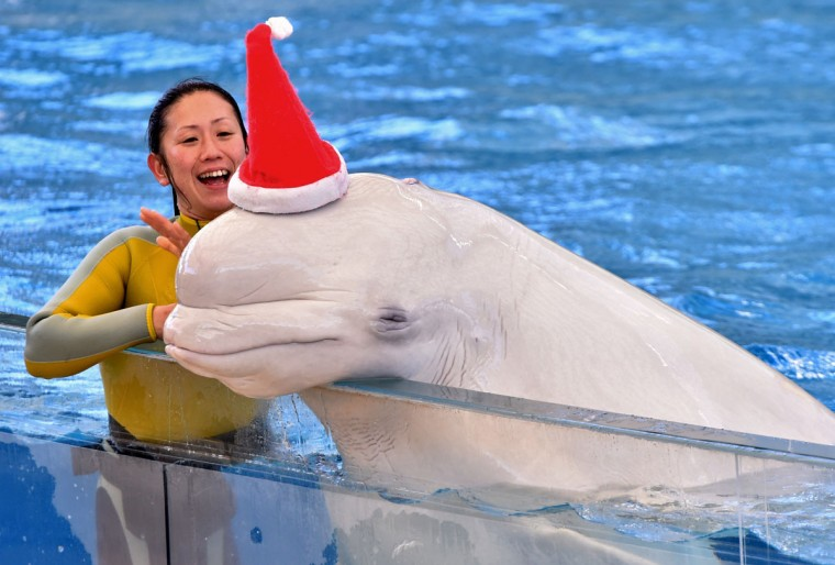 A white beluga wears a Santa hat to attract visitors at the Hakkeijima Sea Paradise aquarium in Yokohama, suburban Tokyo on December 17, 2014. Christmas attractions will be held till Christmas Day. (Yoshikazu Tsuno/AFP/Getty Images)