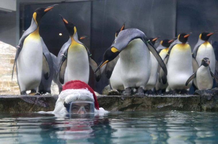 A king penguin looks over at a man dressed as Santa Claus who wears a scuba mask as he poses in their tank at the Marineland animal park in Antibes, December 19.      || PHOTO CREDIT: ERIC GAILLARD  - REUTERS